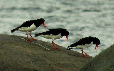 The oystercatchers tromping