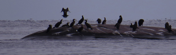 Great cormorant landing to her reference group