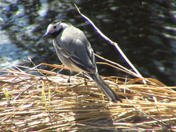 Living wagtail