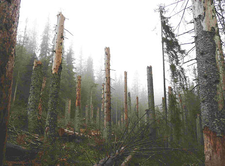 Trees killed by bark beetles