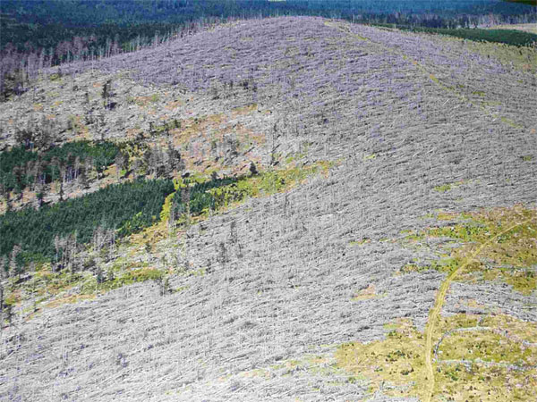 Spruce plantations in Sumava National Park destroyed by bark beetles
